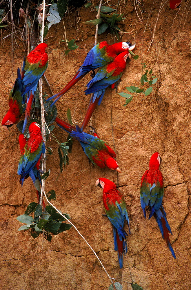 Green winged macaws feeding on minerals at river bank, Amazonia, Peru,