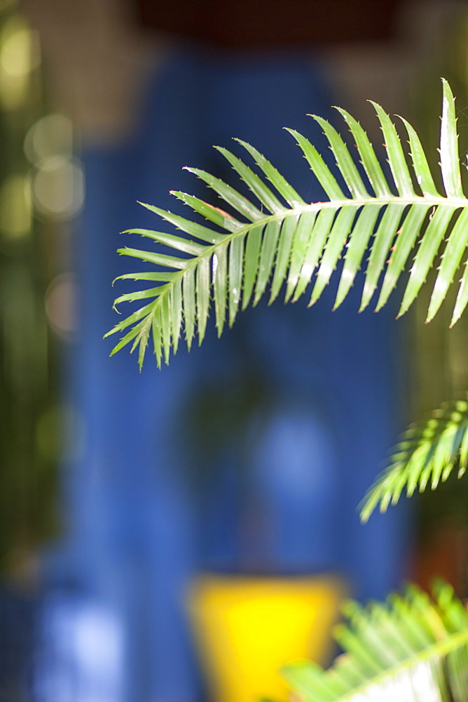 Potted palms in the Jardin Majorelle, Marrakech, Morocco, North Africa, Africa