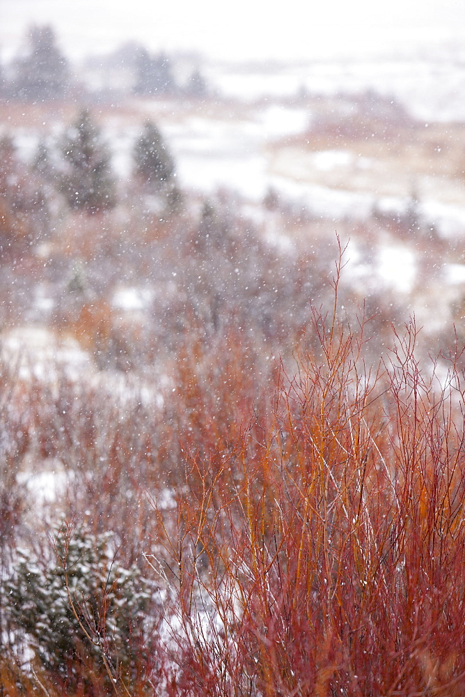 Snowfall on winter meadow, Jackson Hole, Wyoming, United States of America, North America