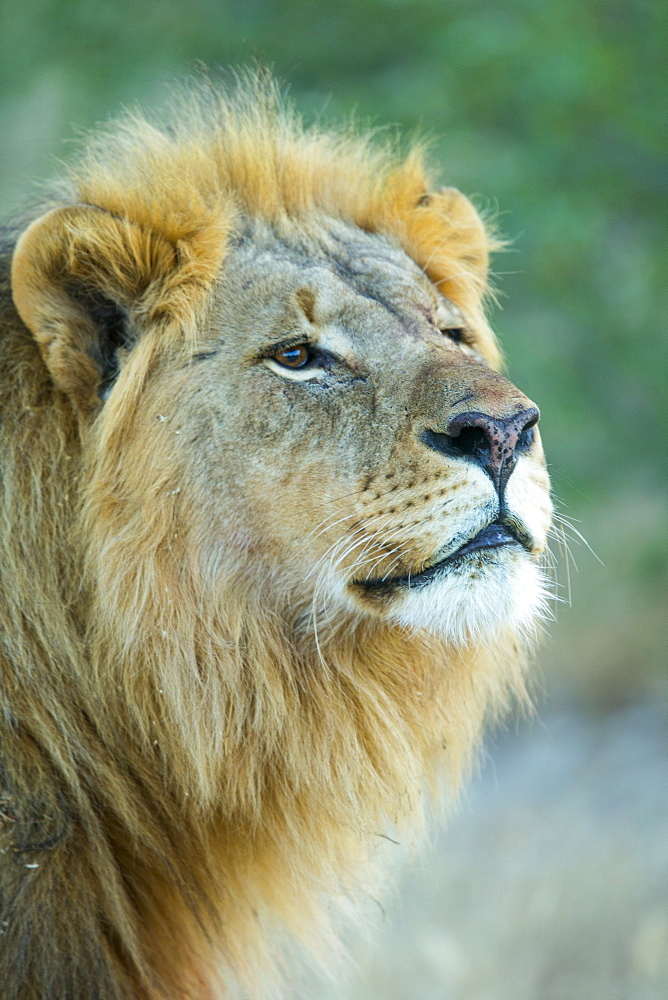 Male lion, Etosha National Park, Namibia, Africa