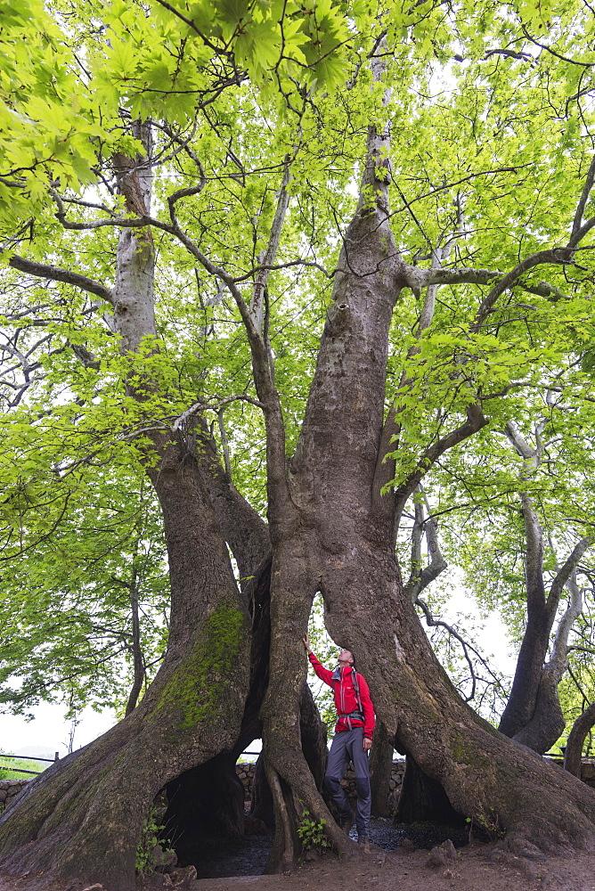 A 2000 year old Platan tree, independent Armenian enclave officially within Azerbaijan, Nagorno-Karabakh, Armenia, Caucasus, Central Asia, Asia