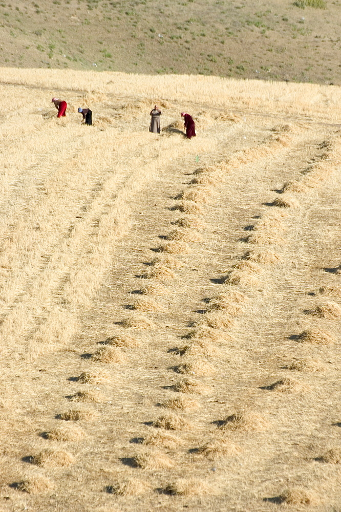 Workers harvesting field, Apamea (Qalat at al-Mudiq), Syria, Middle East