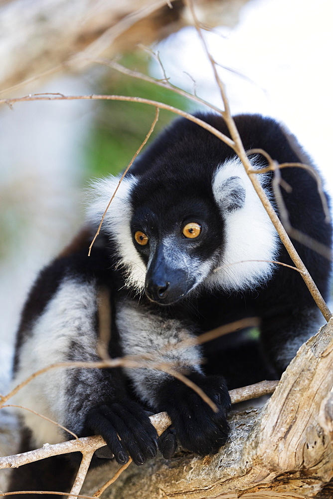 Male black-and-white ruffed lemur (Varecia variegata), Nosy Iranja, northern area, Madagascar, Africa