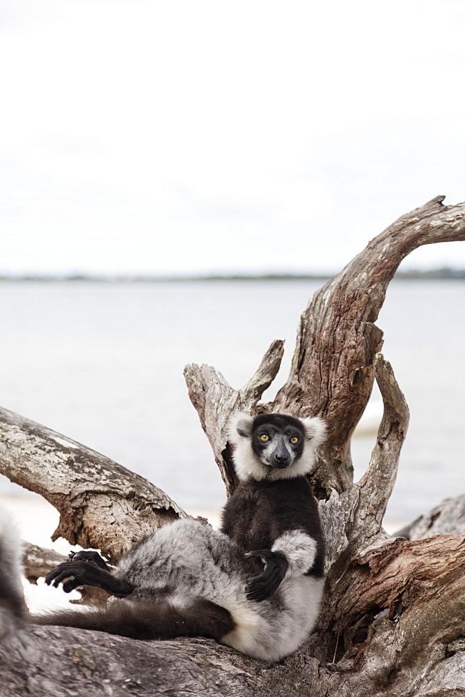 Black-and-white ruffed lemur (Varecia variegata), Lake Ampitabe, Pangalanes Lakes, Tamatave, Madagascar, Africa