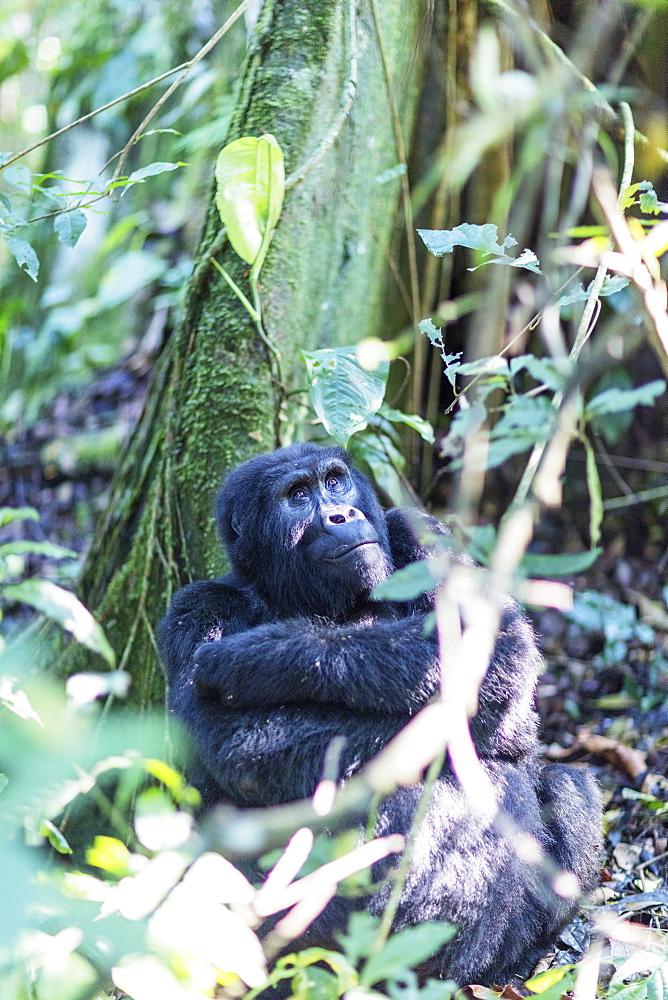 Africa, Uganda, Buhoma, Bwindi Impenetrable Forest National Park, Unesco World Heritage site, gorilla trekking, Rushegura Group (Gorilla gorilla beringei)