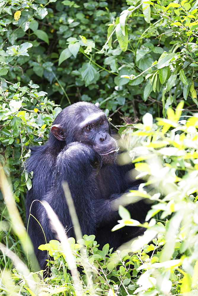 Common Chimpanzee (Pan troglodytes), Kyambura Gorge, Queen Elizabeth National Park, Uganda, Africa