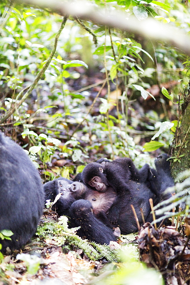 Africa, Uganda, Buhoma, Bwindi Impenetrable Forest National Park, Unesco World Heritage site, gorilla trekking, Rushegura Group, baby gorilla (Gorilla gorilla beringei)