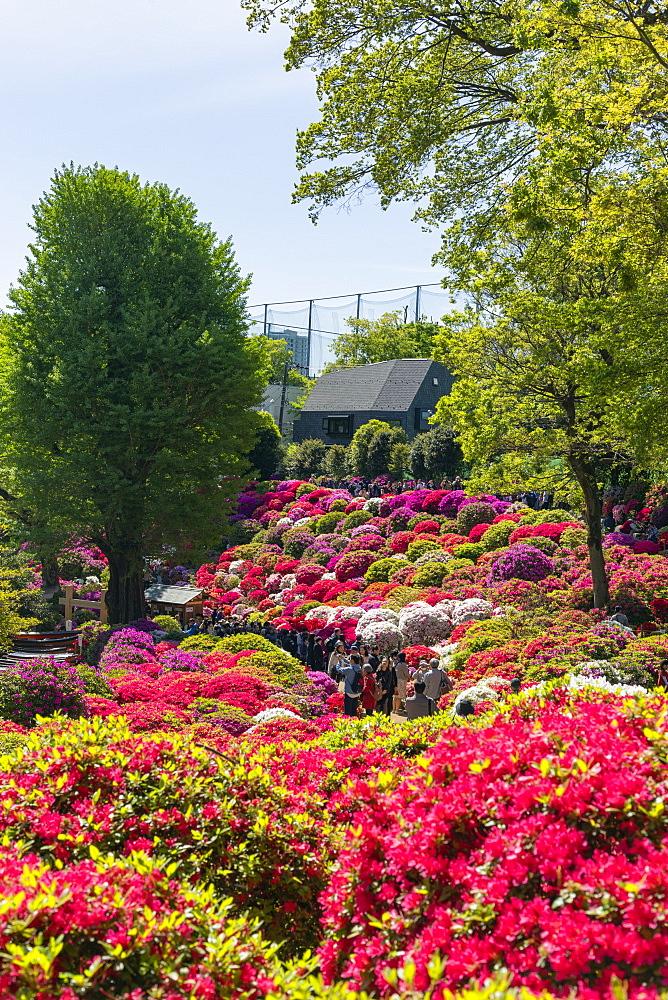 Azaleas (Rhododendron) (Ericaceae family), Nezu Shrine, Tokyo, Japan, Asia