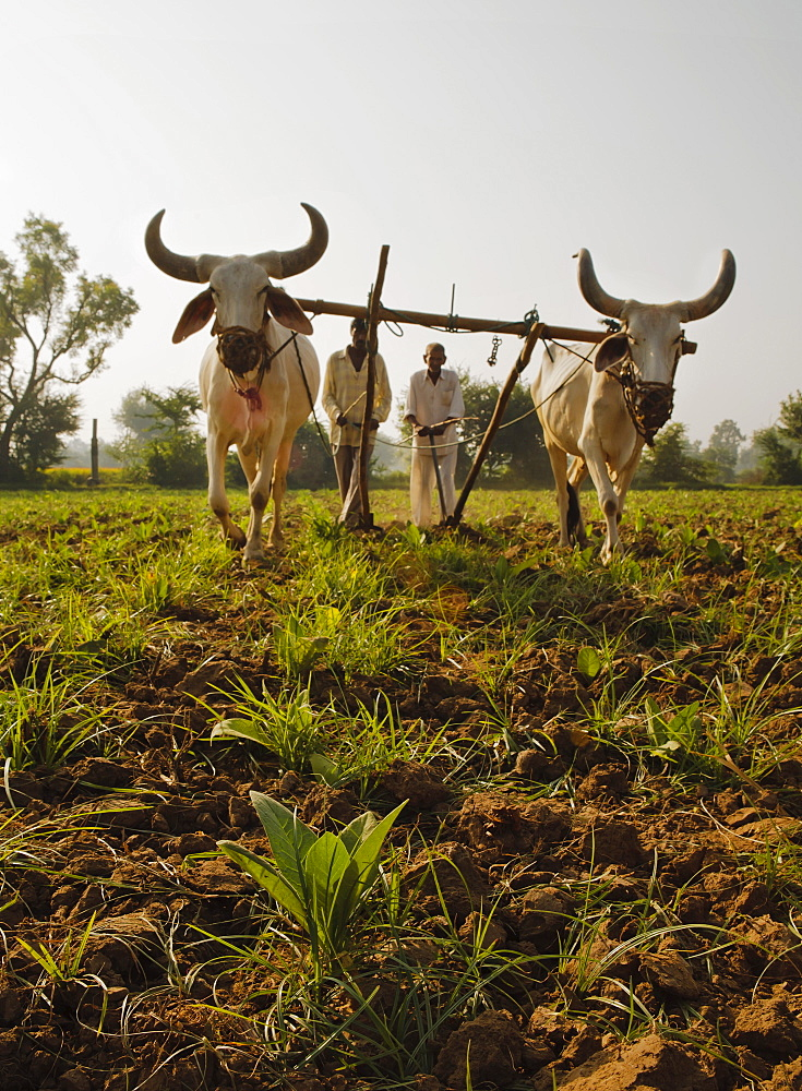 Young tobacco (Nicotiana) plants with traditional plough and cattle (Ankole-Watus), Gujarat, India, Asia - 734-202