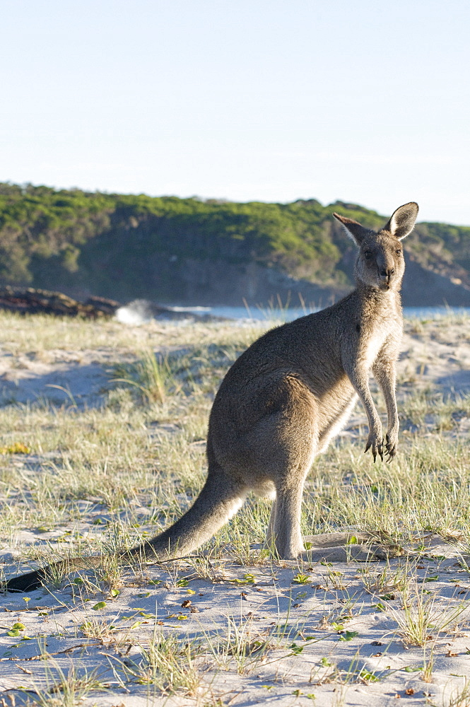 Eastern grey kangaroo (Macropus giganteus) on beach at sunrise, Ben Boyd National Park, New South Wales, Australia, Pacific