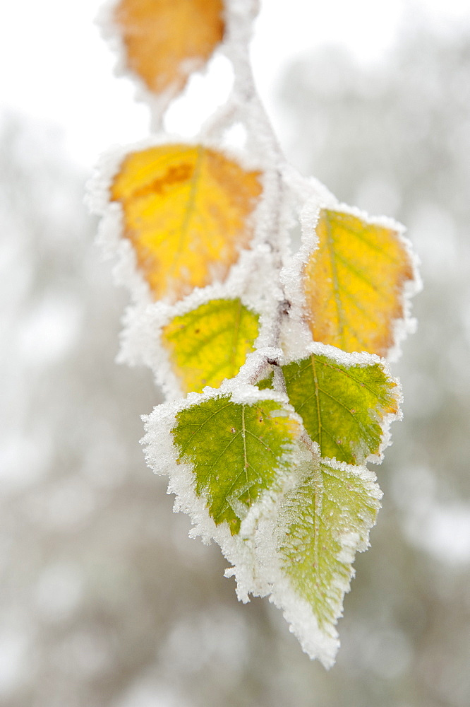 Frost-covered birch leaves, town of Cakovice, Prague, Czech Republic, Europe - 737-625