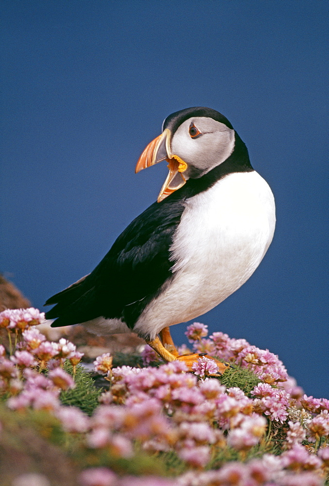 Puffin (Fratercula arctica), amongst thrift (sea pinks), Shetland, Scotland, United Kingdom, Europe