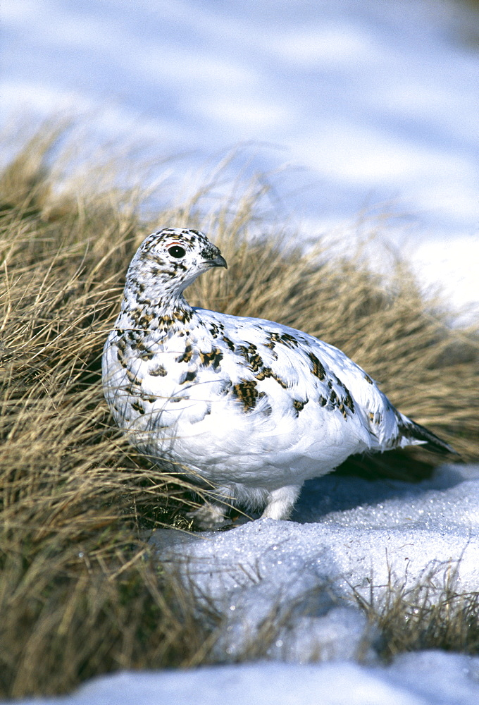 Female ptarmigan (Lagopus mutus), moulting from winter plumage in April, Cairngorm, Scotland, United Kingdom, Europe