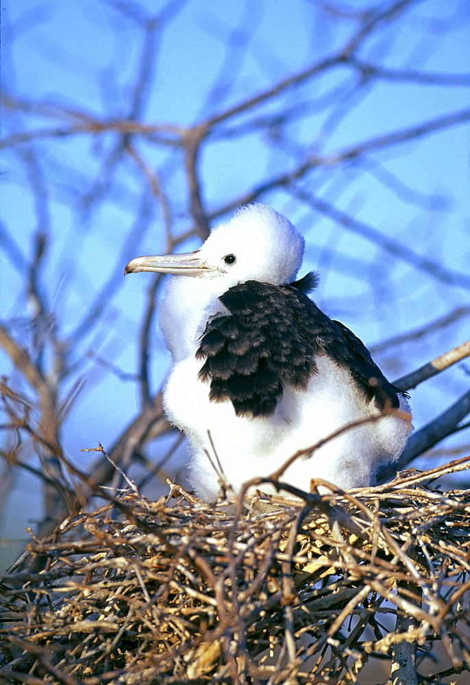 Magnificent frigatebird (Fregata magnificens) chick in nest, Galapagos Islands, Ecuador, South America