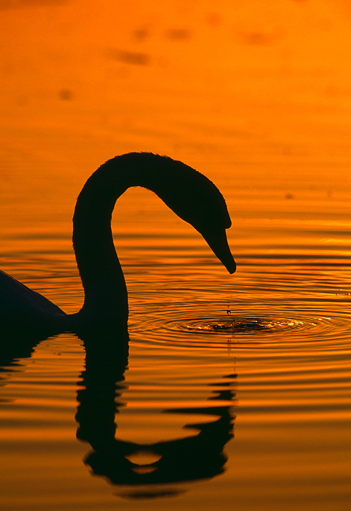 Mute swan (Cygnus olor) in autumn, United Kingdom, Europe