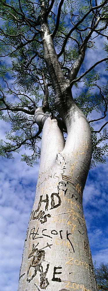 Vandalised moringa tree, Etosha, Namibia, Africa - 738-177