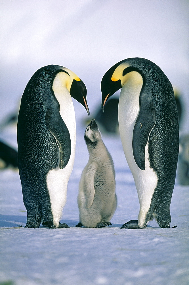 Family of emperor penguins (Aptenodytes forsteri), Weddell Sea, Antarctica, Polar Regions - 738-193