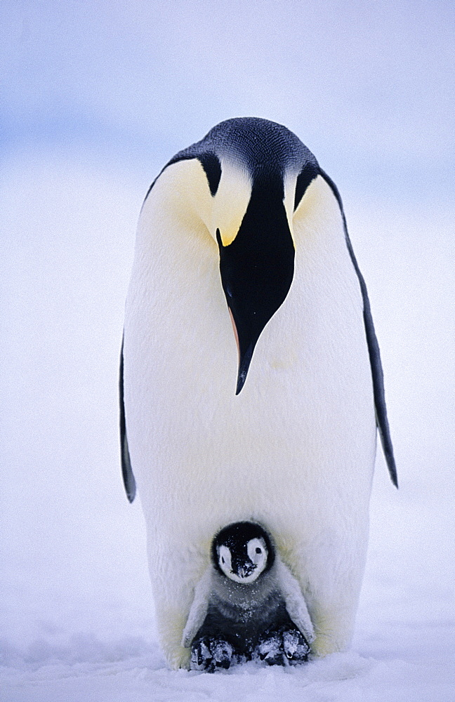 Emperor penguin (Aptenodytes forsteri), with chick being brooded, Weddell Sea, Antarctica, Polar Regions
