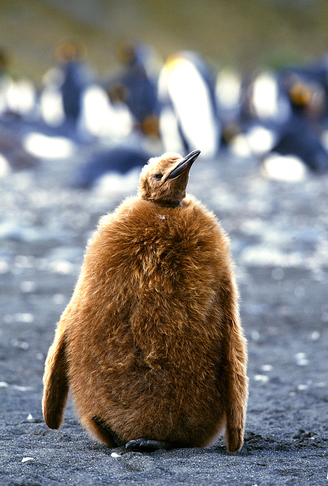 King penguin (Aptenodytes patagonicus), chick on beach, Gold Harbour, South Georgia, South America - 738-64