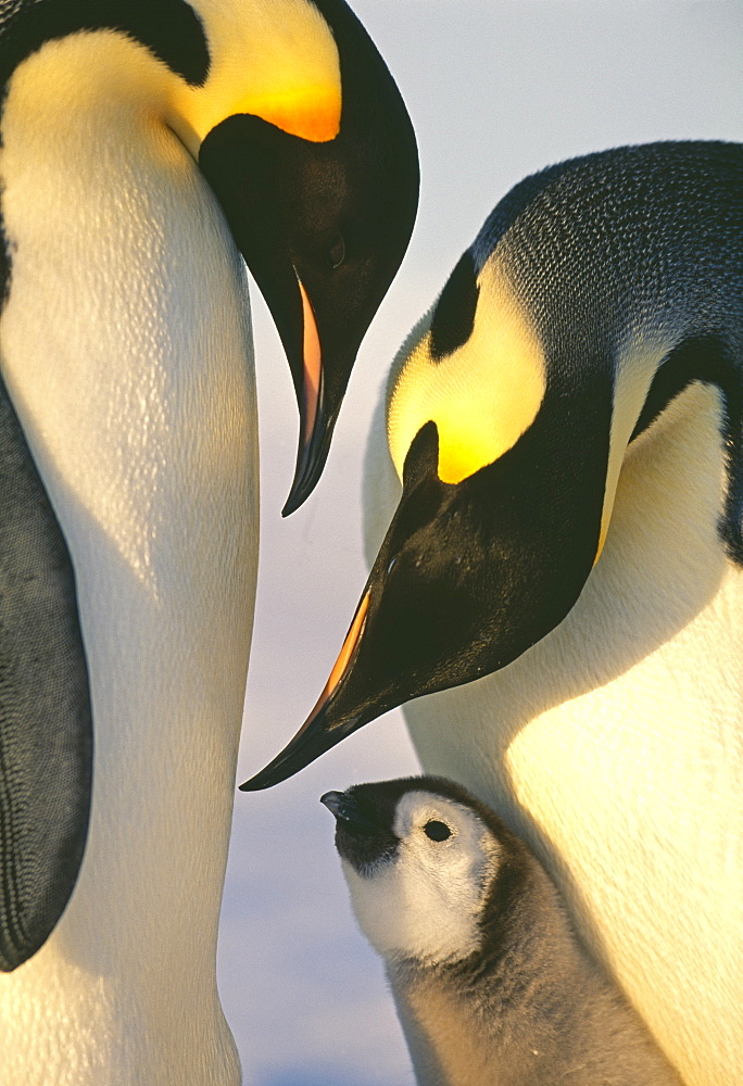 Family of emperor penguins (Aptenodytes forsteri), Weddell Sea, Antarctica, Polar Regions