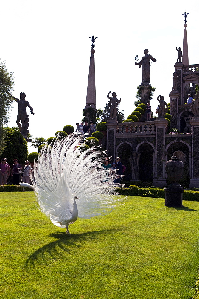 Peacock in the Borromeo's gardens at the Isola Bella, Stresa, Lake Maggiore, Piedmont, Italian Lakes, Italy, Europe