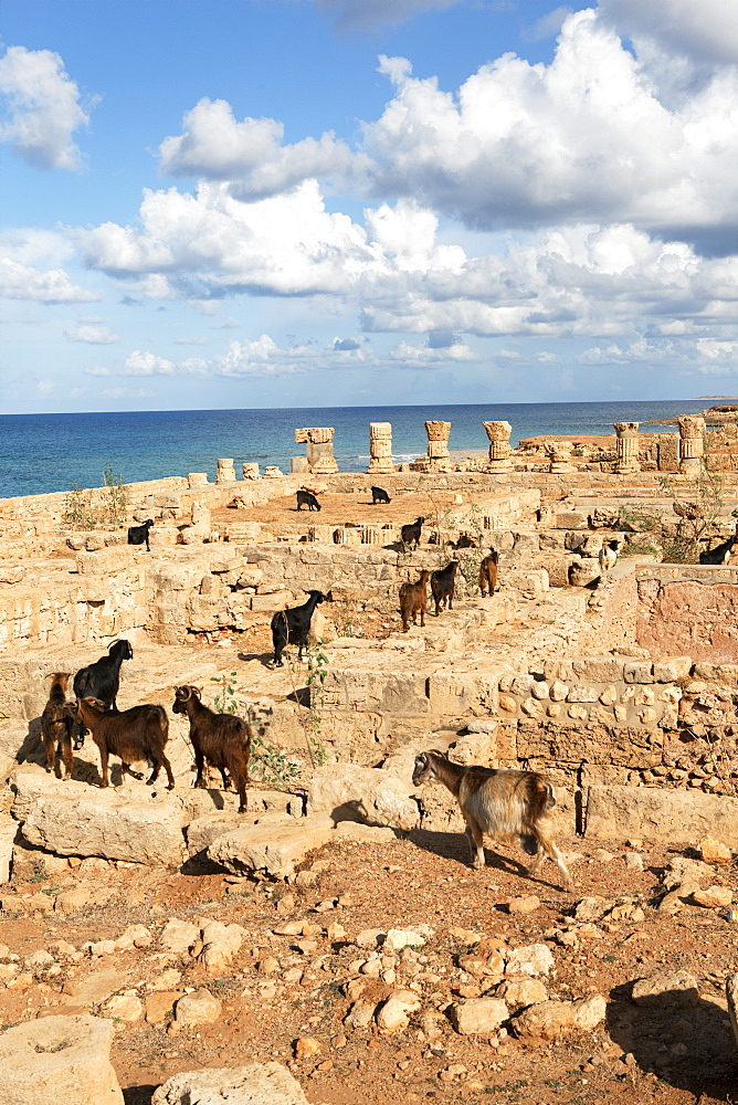 Goats going into the bath house ruins, Apollonia, Libya, North Africa, Africa