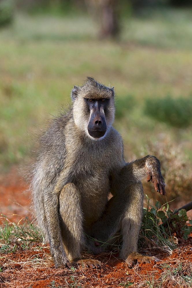 Yellow baboon (Papio hamadryas cynocephalus), Tsavo East National Park, Kenya, East Africa, Africa