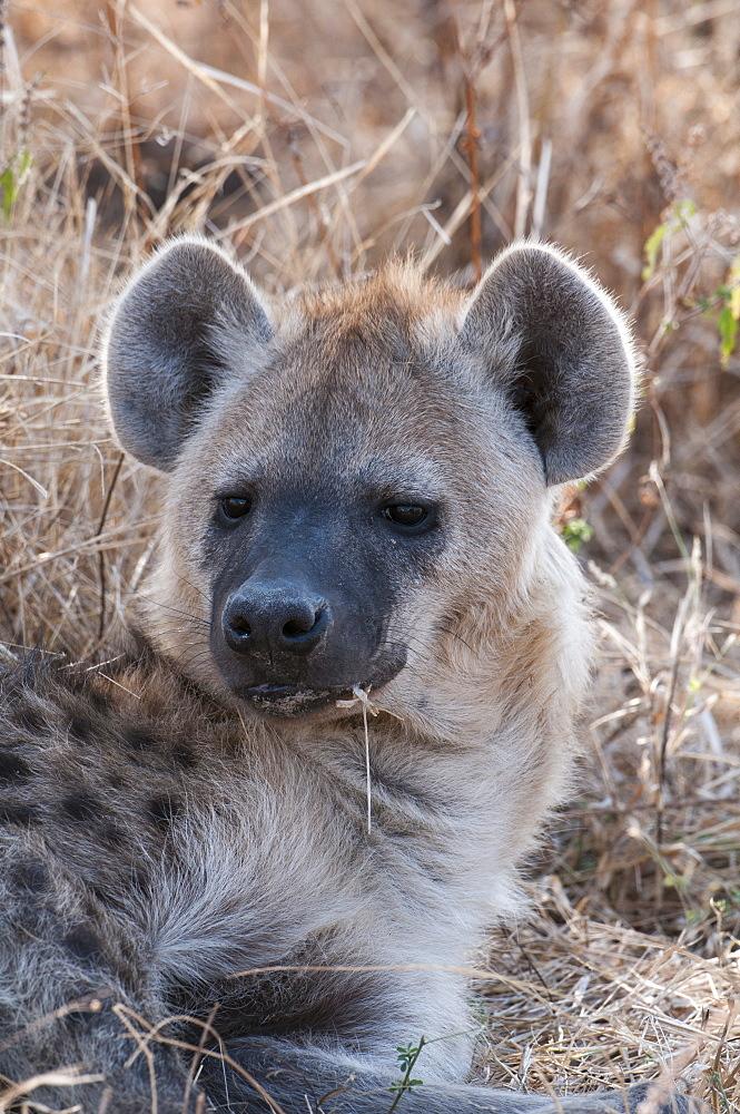 Spotted hyena (Crocuta crocuta), Chief Island, Moremi Game Reserve, Okavango Delta, Botswana, Africa