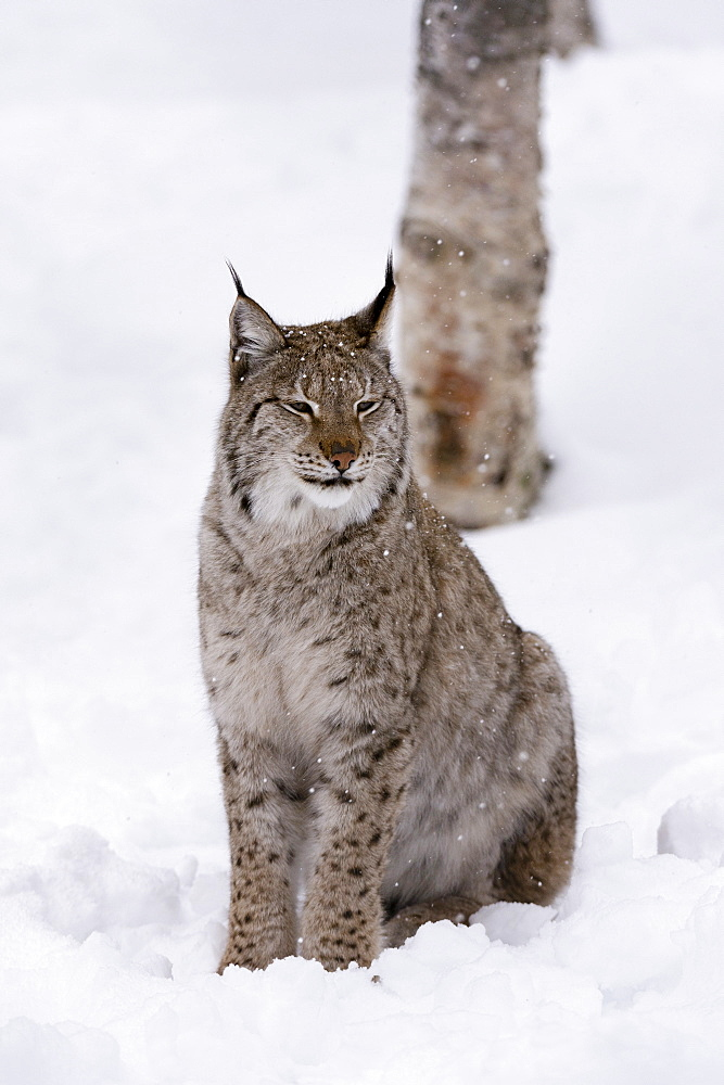 European Lynx (Lynx lynx), Polar Park, Norway, Troms, Norway, Scandinavia, Europe