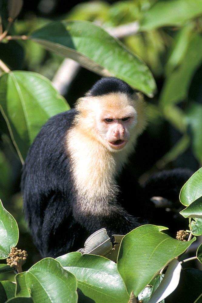 White faced capuchine monkey (Cebus capucinus), Soberania National Park, Gamboa, Panama, Central America