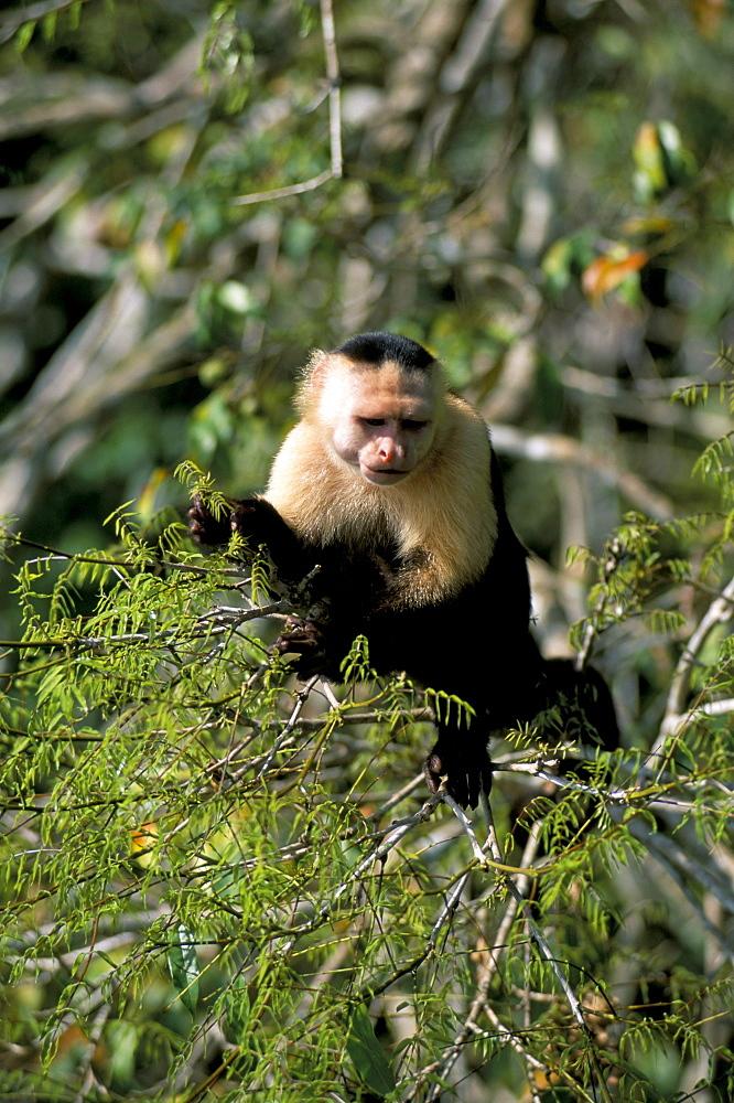 White faced capuchine monkey (Cebus capucinus), Soberania Forest National Park, Gamboa, Panama, Central America