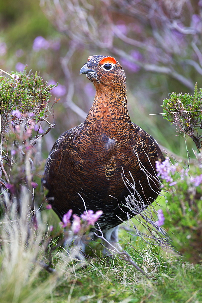 Red grouse (Lagopus lagopus) male, in heather, County Durham, England, United Kingdom, Europe