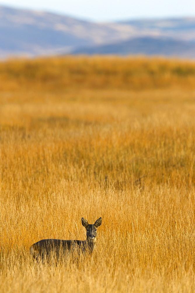 Roe deer (Capreolus capreolus), Islay, Scotland, United Kingdom, Europe