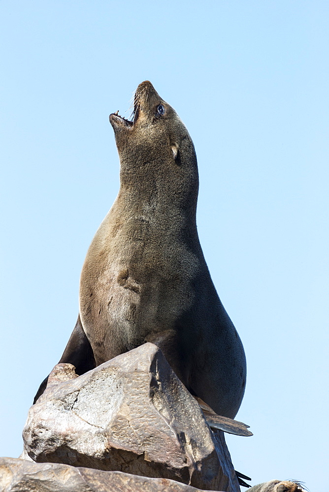 South African (Cape) fur seal (Arctocephalus pusillus pusillus), Cape Cross breeding colony, Namibia, May 2013