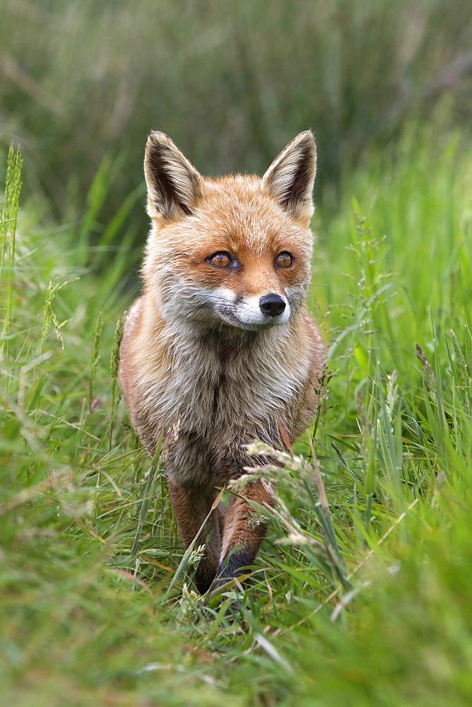 Red fox (Vulpes vulpes) captive, United Kingdom, Europe - 743-1083