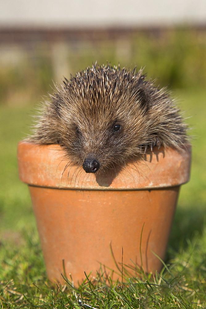 Hedgehog (Erinaceus europaeus), in plant pot, captive, United Kingdom, Europe - 743-1084