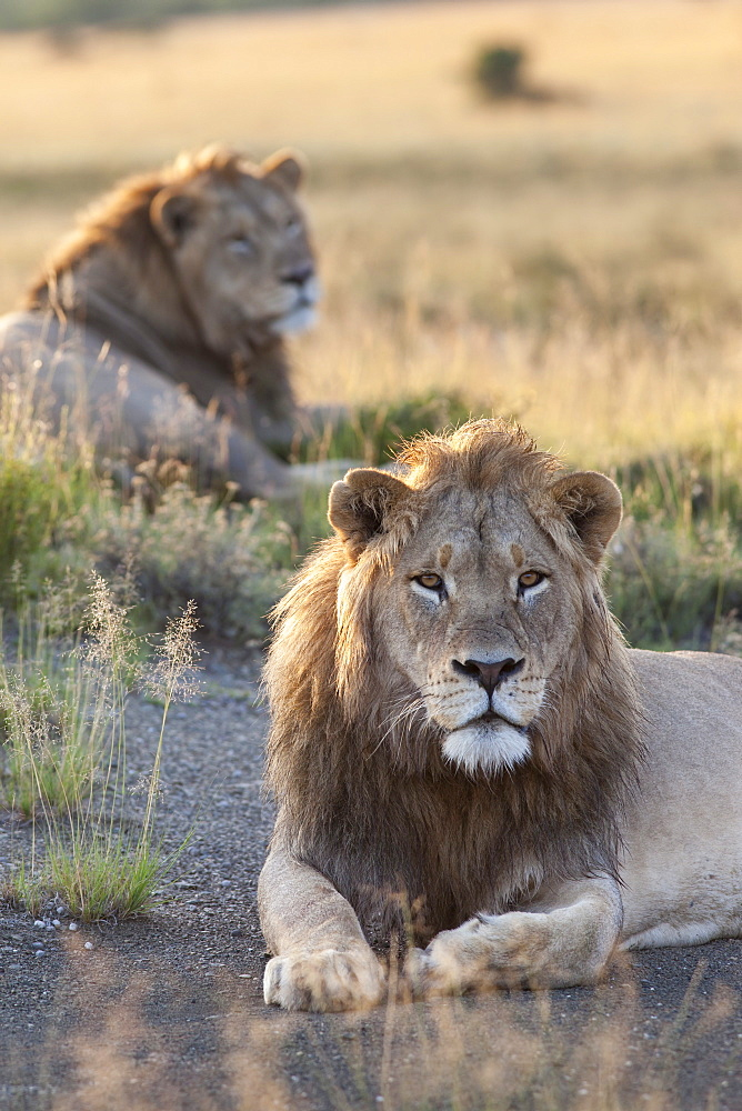 Lions (Panthera leo), Mountain Zebra National Park, Eastern Cape, South Africa, Africa