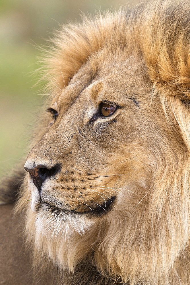 Lion (Panthera leo), Kgalagadi Transfrontier Park, Northern Cape, South Africa, Africa