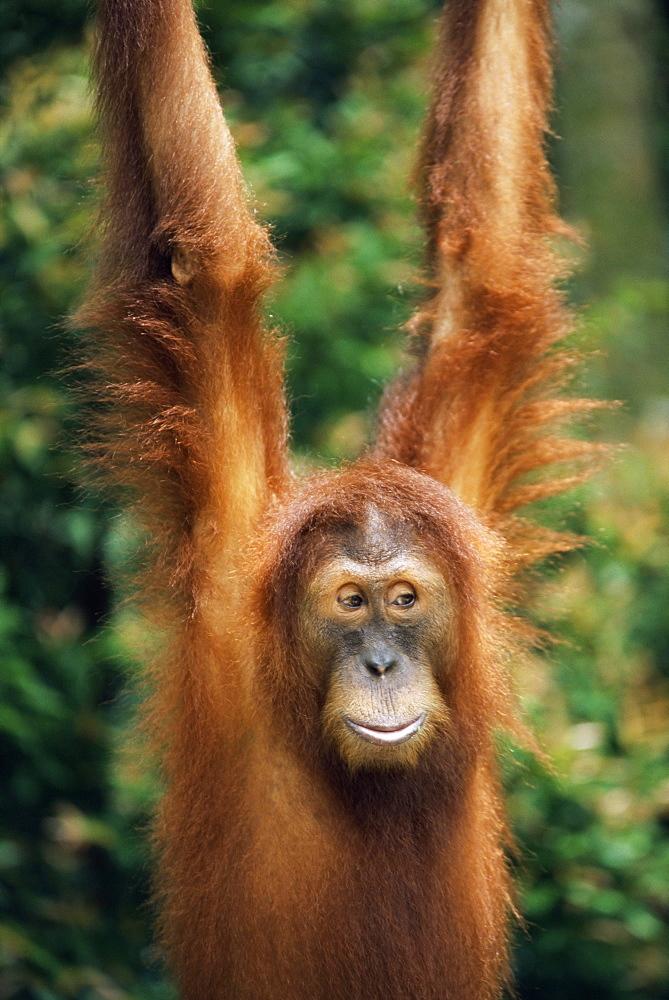 Orang-utan, Pongo pygmaeus, in captivity