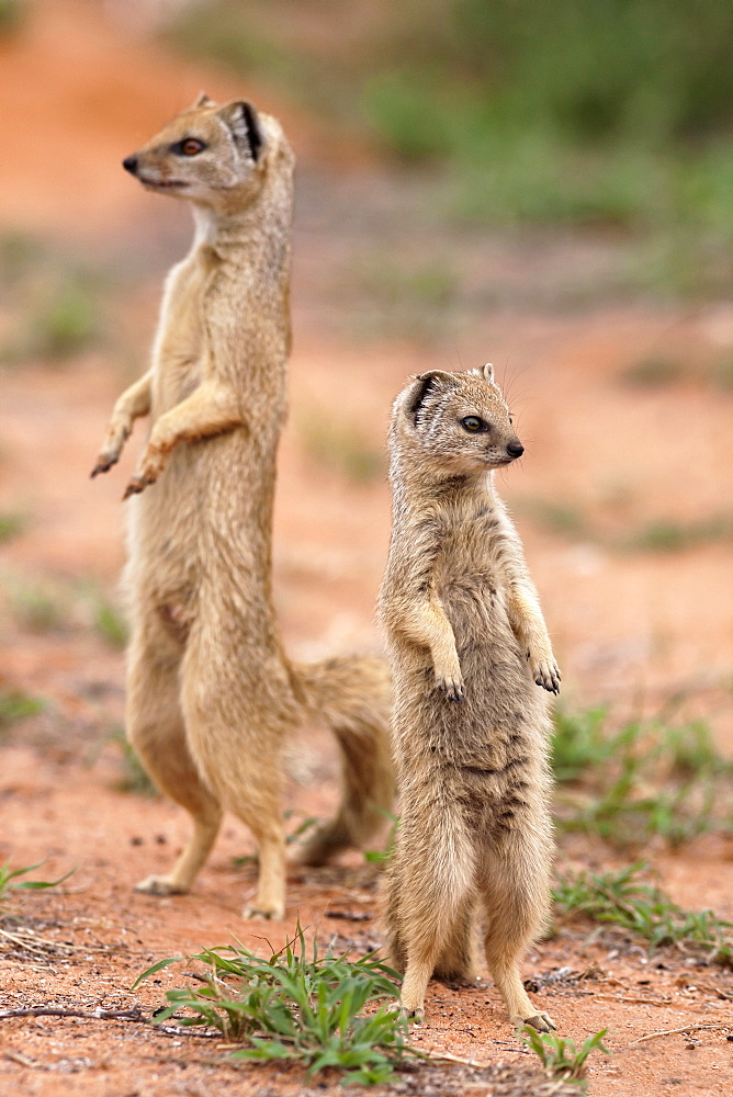 Yellow mongoose (Cynictis penicillata), Kgalagadi Transfrontier Park, South Africa, Africa