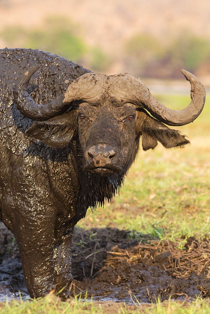 Cape buffalo (Syncerus caffer) on the banks of the Chobe, Chobe Game Reserve, Botswana, Africa