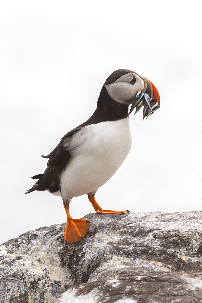 Puffin (Fratercula arctica) with sand eels, Farne Islands, Northumberland, England, United Kingdom, Europe