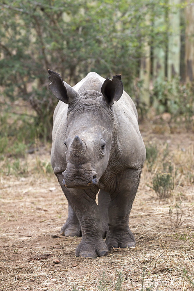 Ithuba, white rhino calf (Ceratotherium simum) orphaned by poaching, Thula Thula Rhino Orphanage, KwaZulu-Natal, South Africa, Africa