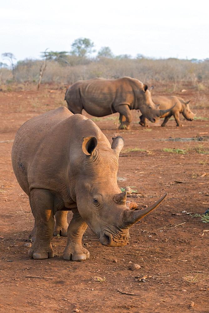 White rhinos (Ceratotherium simum), Zimanga private game reserve, KwaZulu-Natal, South Africa, Africa