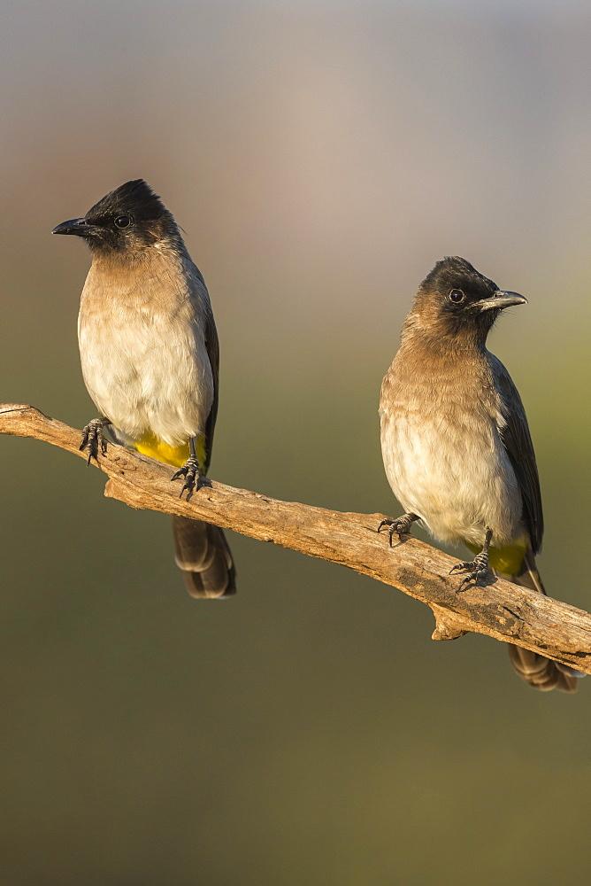 Dark-capped (black-eyed) bulbuls (Pycnonotus tricolor), Zimanga private game reserve, KwaZulu-Natal, South Africa, Africa