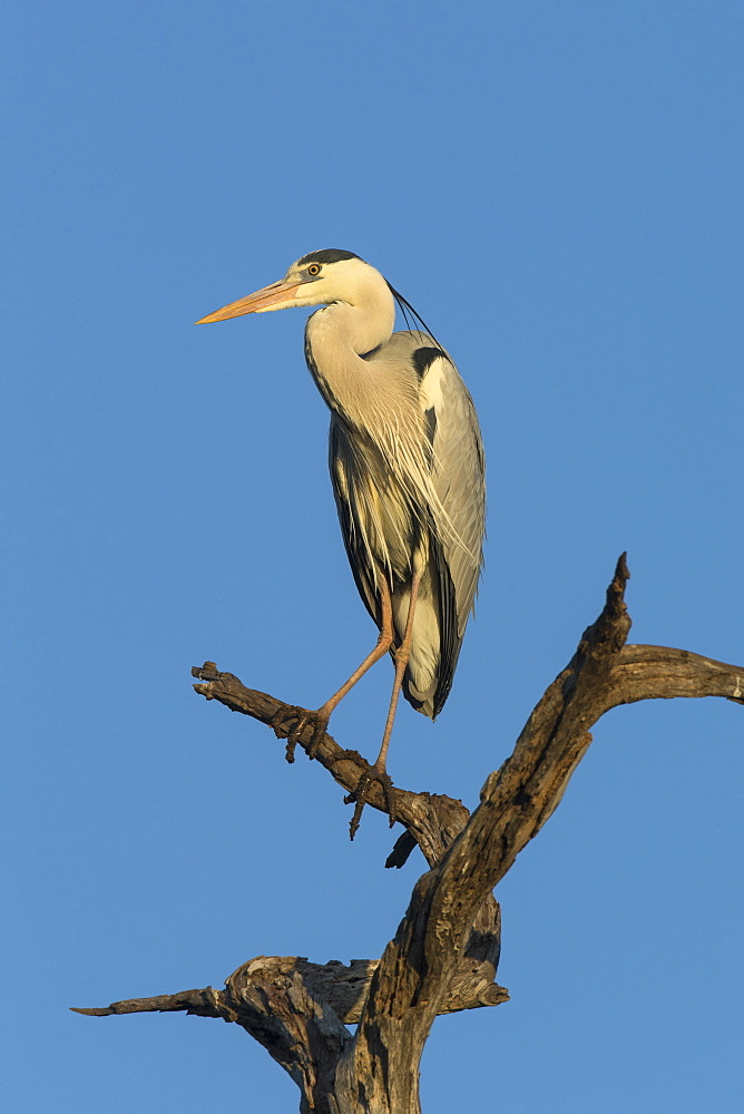Grey heron (Ardea cinerea), Kruger National Park, South Africa, Africa