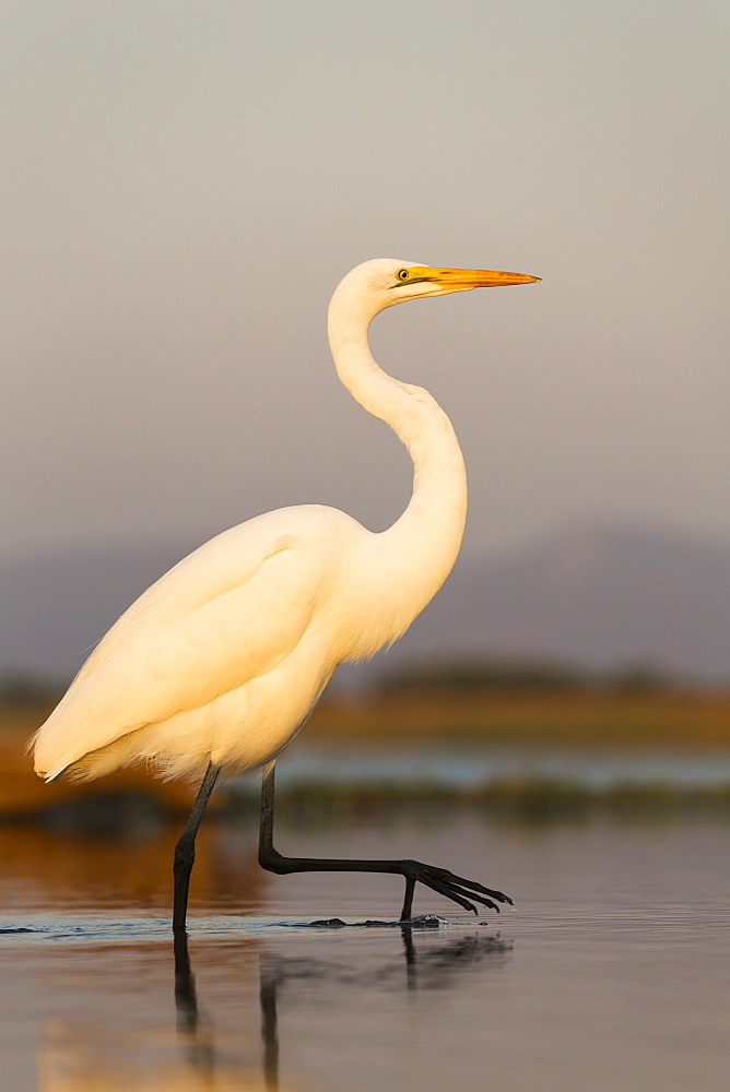 Great egret (Ardea alba), Zimanga private game reserve, KwaZulu-Natal, South Africa, Africa