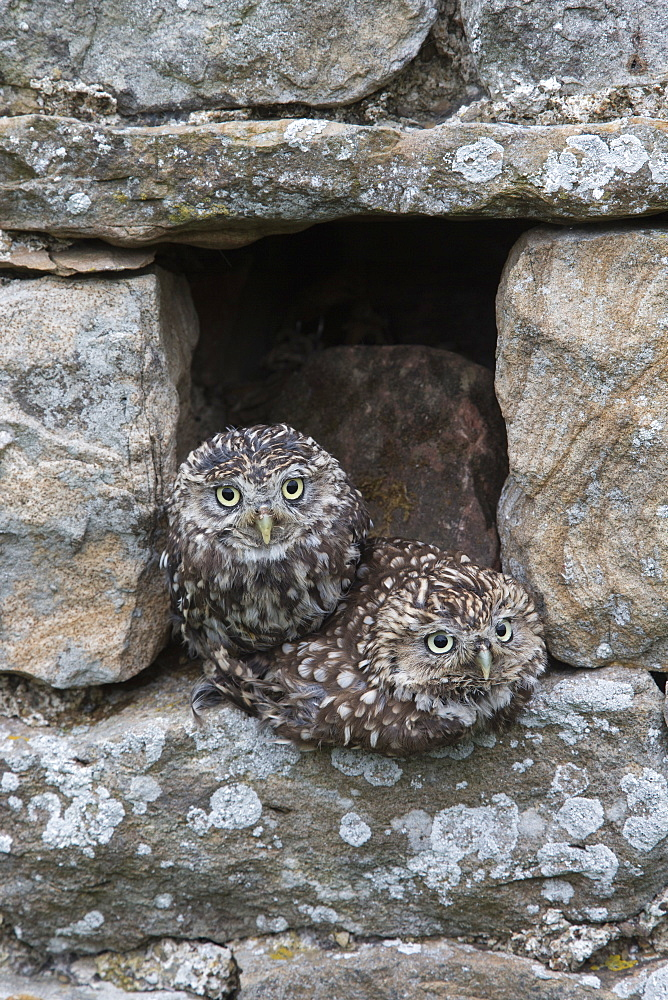 Little owls (Athene noctua) perched in stone barn, captive, United Kingdom, Europe