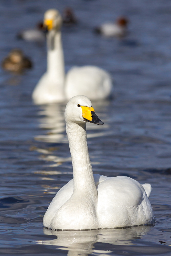 Whooper swans (Cygnus cygnus) on the water, Welney Wildfowl and Wetlands Trust Reserve, Norfolk, England, United Kingdom, Europe