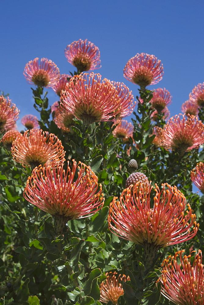 Pincushion protea (Leucospermum cordifolium), Kirstenbosch Botanical Gardens, Cape Town, South Africa, Africa